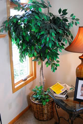 Old Fashioned Ficus Tree - MattandShari.com